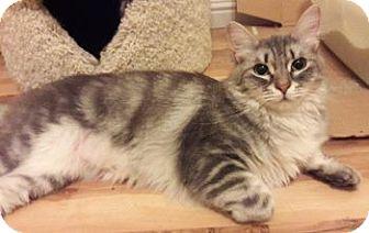 Siberian Cat for adoption in Davis, California - Ivory