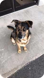 Catahoula Leopard Dog/German Shepherd Dog Mix Dog for adoption in Westminster, Colorado - Inman
