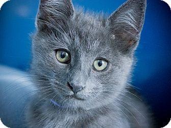 Russian Blue Kitten for adoption in Los Angeles, California - Drifter
