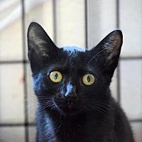 Adopt A Pet :: Sully - Palo Cedro, CA