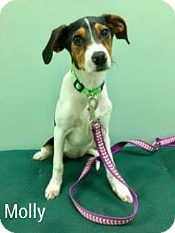 Fox Terrier (Smooth)/Beagle Mix Dog for adoption in East haven, Connecticut - Molly