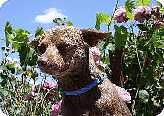 Chihuahua Mix Dog for adoption in Elk Grove, California - RILLA