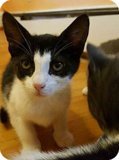 Domestic Shorthair Kitten for adoption in Brimfield, Massachusetts - Valerie