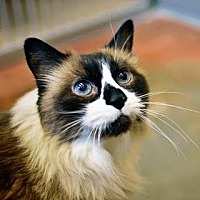 Domestic Longhair Cat for adoption in Denver, Colorado - Hershey