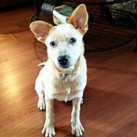 Adopt A Pet :: Beau - Madison, WI