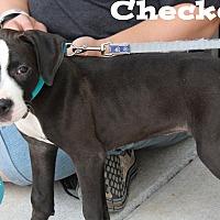 Adopt A Pet :: Checkers - Kimberton, PA