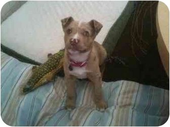 American Pit Bull Terrier/Catahoula Leopard Dog Mix Puppy for adoption in Blanchard, Oklahoma - Elsee