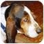 Photo 2 - Basset Hound Dog for adoption in Phoenix, Arizona - Fausto