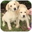 Photo 2 - Labrador Retriever Mix Puppy for adoption in Brenham, Texas - Summer