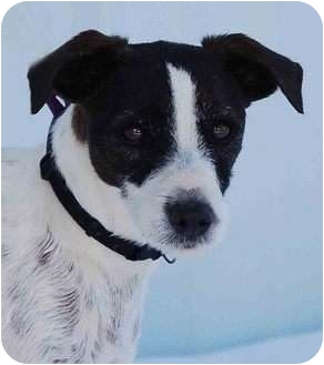 Jack Russell Terrier Mix Dog for adoption in Mora, Minnesota - Toby