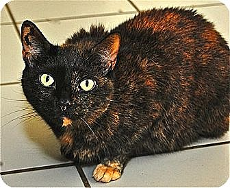 Domestic Shorthair Cat for adoption in Fairfax Station, Virginia - Chloe 2