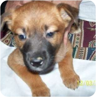 German Shepherd Dog/Labrador Retriever Mix Puppy for adoption in Bel Air, Maryland - Shelly