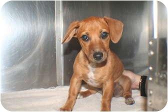 Dachshund Mix Puppy for adoption in Georgetown, South Carolina - Iris