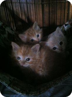 Domestic Mediumhair Kitten for adoption in Clay, New York - KITTEN'S