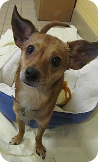 Chihuahua Mix Dog for adoption in Jackson, Michigan - Chopper