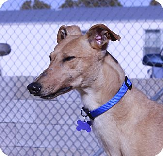 Greyhound Dog for adoption in Tucson, Arizona - Claire