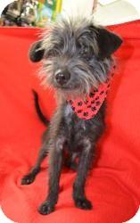 Schnauzer (Miniature)/Yorkie, Yorkshire Terrier Mix Dog for adoption in Dallas, Texas - Faith