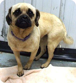 Pug/Beagle Mix Dog for adoption in Kalamazoo, Michigan - Megan