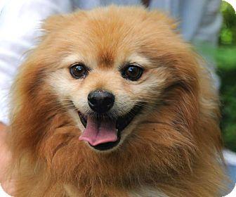 Pomeranian Dog for adoption in Denver, Colorado - Dorian