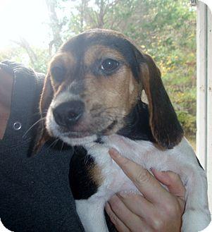Beagle Puppy for adoption in Old Bridge, New Jersey - Pumpkin