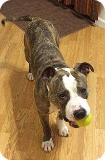 American Pit Bull Terrier/American Bulldog Mix Dog for adoption in Sacramento, California - Bella