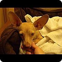 Adopt A Pet :: Batty - Cathedral City, CA
