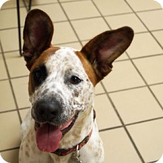 Cattle Dog Mix Dog for adoption in Eatontown, New Jersey - Stella
