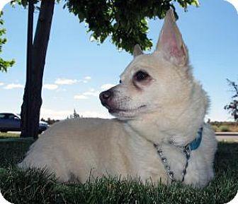 Chihuahua/Cardigan Welsh Corgi Mix Dog for adoption in Redmond, Oregon - Boscoe