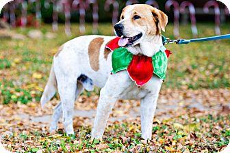 Labrador Retriever/Australian Cattle Dog Mix Dog for adoption in Houston, Texas - Gerald
