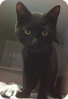 Domestic Shorthair Cat for adoption in Kirby, Texas - Vampy