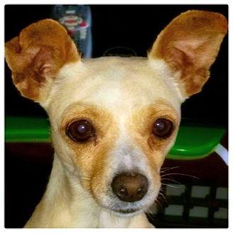 Chihuahua Dog for adoption in Miami, Florida - Cherri