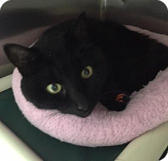 Domestic Shorthair Cat for adoption in Warren, Michigan - Bruce Wayne - ADOPTION PENDING