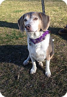 Beagle Dog for adoption in New Milford, Connecticut - Kobe