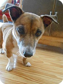 Jack Russell Terrier Mix Dog for adoption in Lovingston, Virginia - Jack (FC=mo)