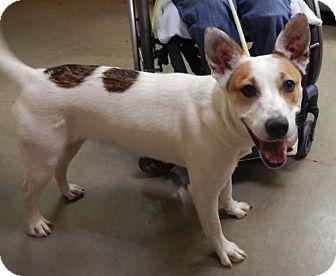 Australian Cattle Dog/Beagle Mix Dog for adoption in Amarillo, Texas - Bear Bear