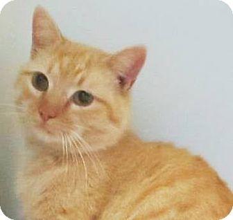 Domestic Shorthair Cat for adoption in Lincolnton, North Carolina - Baron-Euth April 15
