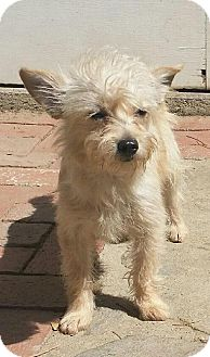 Terrier (Unknown Type, Small)/Poodle (Miniature) Mix Puppy for adoption in Thousand Oaks, California - Custard