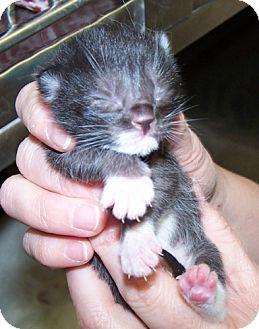 Domestic Shorthair Kitten for adoption in Libertyville, Illinois - Ben