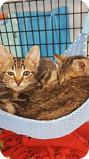 Domestic Shorthair Kitten for adoption in Edwardsville, Illinois - Skippy