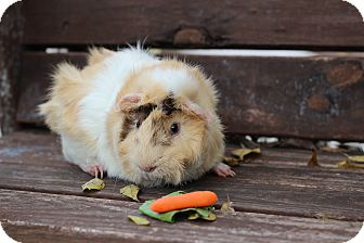 Guinea Pig for adoption in College Station, Texas - Nilla