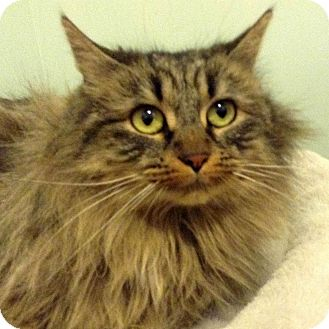 Domestic Longhair Cat for adoption in Brimfield, Massachusetts - Short Stop