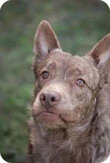 Cattle Dog Mix Dog for adoption in New Smyrna Beach, Florida - Fudge