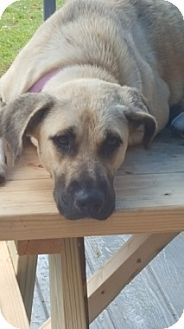 Labrador Retriever/Black Mouth Cur Mix Dog for adoption in Austin, Texas - Lucy