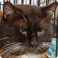 Snowshoe Cat for adoption in Sprakers, New York - Zack