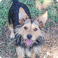 Adopt A Pet :: Tristan - Austin, TX
