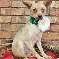 Adopt A Pet :: Foxy - Benbrook, TX