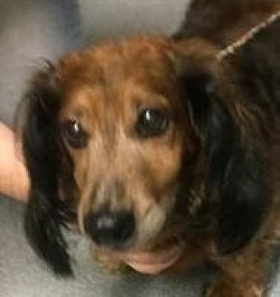 Dachshund Mix Dog for adoption in Fairfax Station, Virginia - Lady Doxi