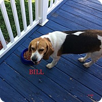 Adopt A Pet :: BILL - Ventnor City, NJ