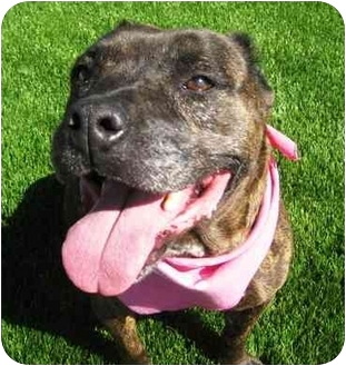 Pit Bull Terrier Mix Dog for adoption in San Diego, California - Skyla
