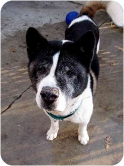Akita Dog for adoption in Long Beach, New York - Kai